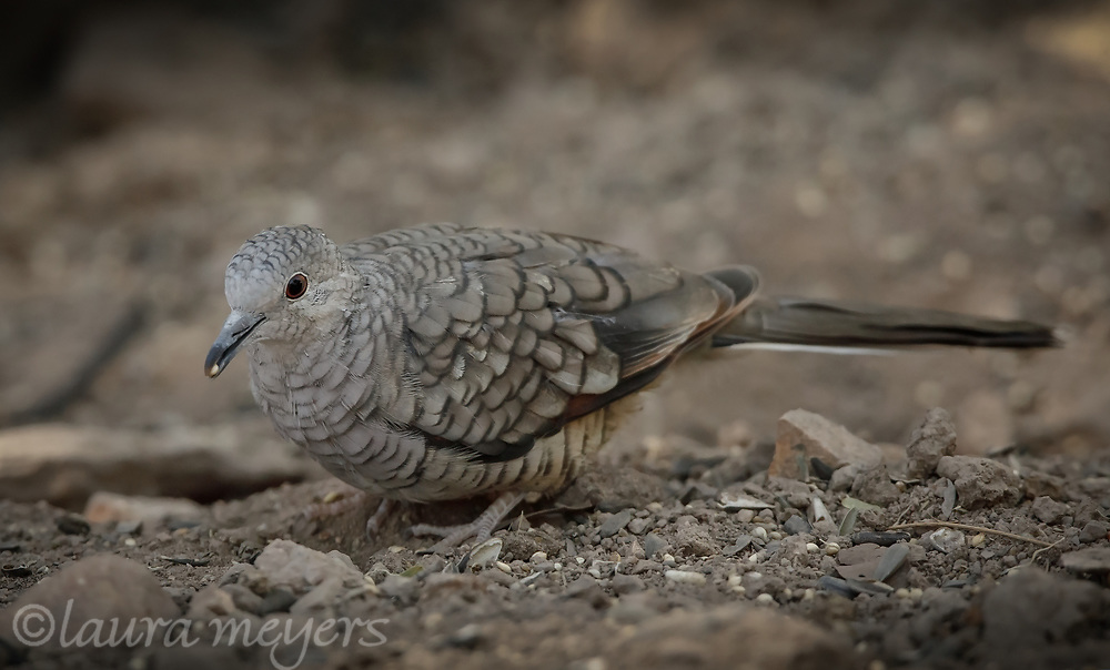 Inca Dove on the ground eating seed in Hereford, Arizona