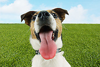 Jack Russell terrier panting close-up