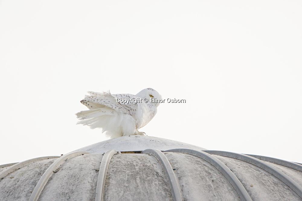 Snowy Owl on silo in wind
