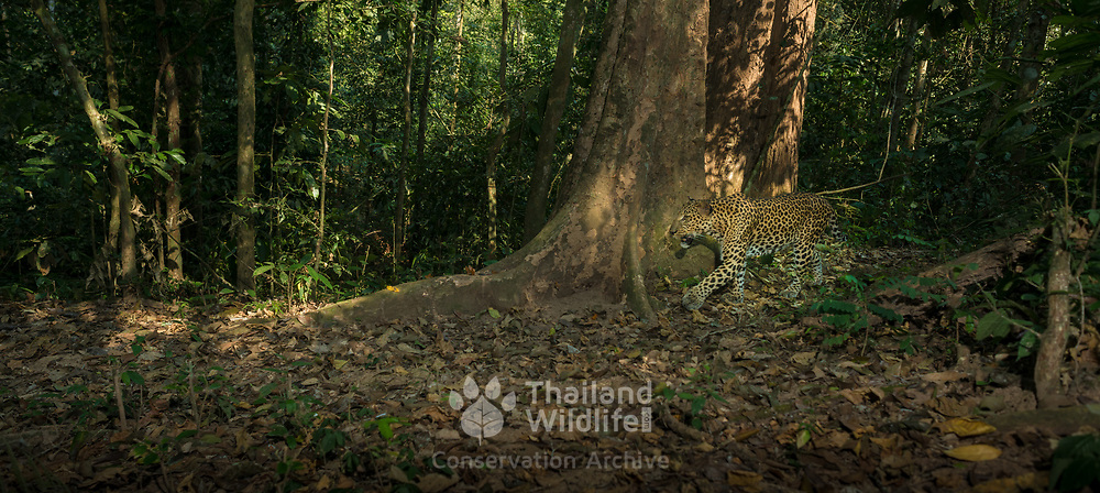 The Indochinese leopard (Panthera pardus delacouri) is a leopard subspecies native to mainland Southeast Asia and southern China. In Indochina, leopards are rare outside protected areas and threatened by habitat loss due to deforestation as well as poaching for the illegal wildlife trade.