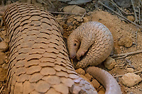 Sunda pangolin<br /> Manis javanica<br /> Three-month-old baby with mother<br /> Singapore Night Safari, Singapore<br /> *Captive