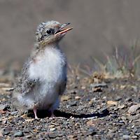 Arctic Ternling
