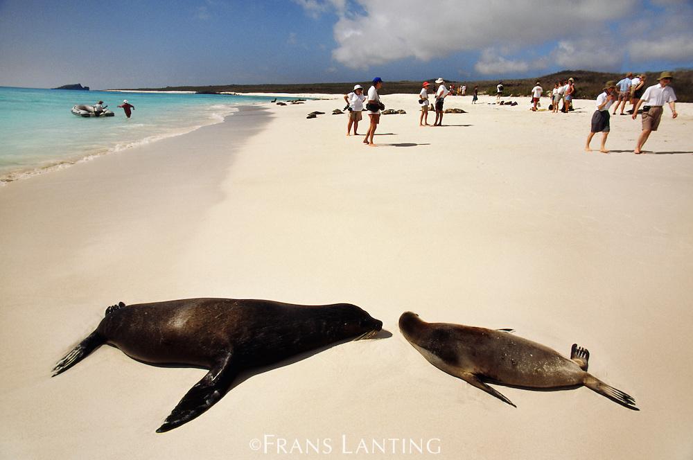 Sea lions and tourists, Zalophus californianus wollebackei, Galapagos Islands