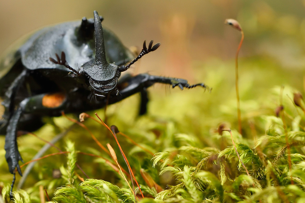 Rhinoceros beetle, Oryctes sp. Tangjiahe National Nature Reserve, NNR, Qingchuan County, Sichuan province, China