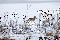 In a cold northern Utah wetland a Coyote quietly passes through a marsh this ground may seem lifeless but if you watch something is always going on in a marsh.