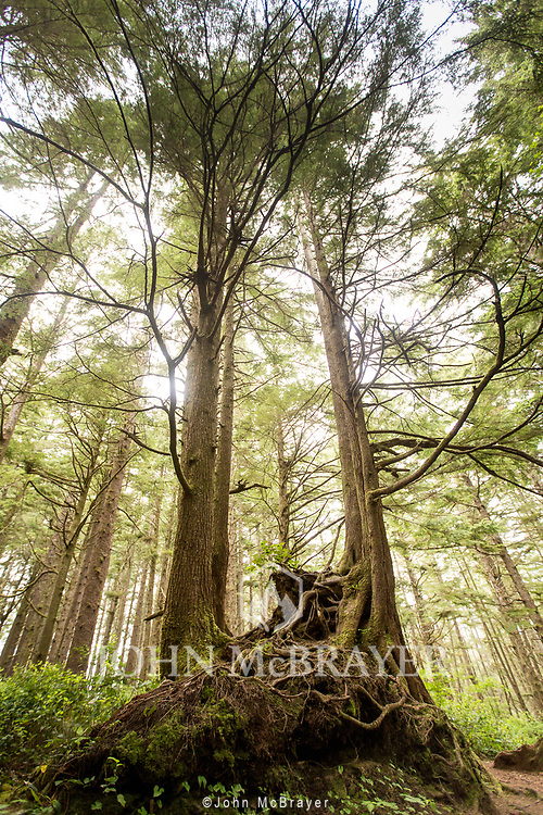 The trees tower overhead along the trail to Second Beach on the Olympic Peninsula. © John McBrayer
