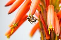 African honey bee pollinating orange Aloe flowerss, Bredasdorp, Western Cape, South Africa
