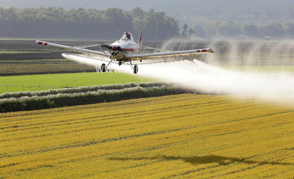 Goshen, New York - A crop duster sprays herbicide while flying over fields of onions and barley in the Black Dirt region of Orange County on May 21, 2011. The barley, which has turned yellow, is planted with the young onions to shield them from the wind. The pesticide kills the barley but not the onions.