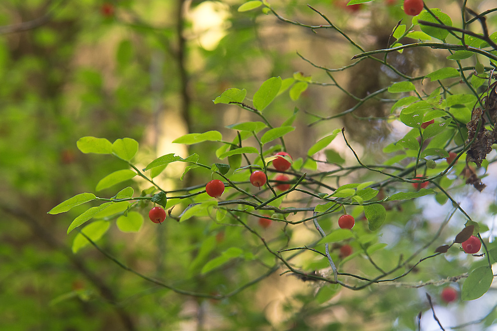 The red huckleberry is one of the best-tasting wild berries that can be found in abundance in the Pacific Northwest, and can be found in shaded forests along the Pacific coasts from Central California to Southeastern Alaska west of the Cascades, and can reach a height of 3 to 12 feet - often in association with rotting wood. Tasting a little more like a cranberry than some of the other darker huckleberry varieties, the red huckleberry is sweet with a very pleasing tartness, and is a valuable food source for deer, mountain beavers, mountain goats, and elk - especially in wintertime where many of the late berries persist after the first snow. These were found growing in the Hoh Rainforest in Washington's Western Olympic Mountains.