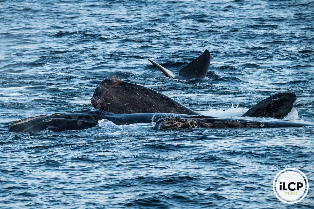 North Atlantic right whales (Eubalaena glacialis) engaged in a surface active group comprised of one female and a number of males competing with each other in order to mate with her. Gulf of Saint Lawrence, Canada. IUCN Status: Endangered