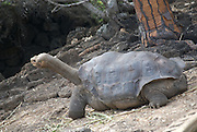 "Formerly known as the World's rarest creature, Lonesome George was the last of the ""Chelonoidis nigra abingdoni"" species of giant tortoise from Pinta Island, Galápagos.<br />