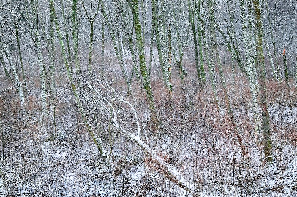 Maple Tree Forest in Winter, Washington Cascades