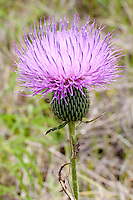 Texas Thistle (Cirsium texanum), Gillespie  County, Texas