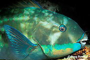 steephead parrotfish, Scarus microrhinos, asleep at night, Restorf Island, Kimbe Bay, Papua New Guinea ( Bismarck Sea )