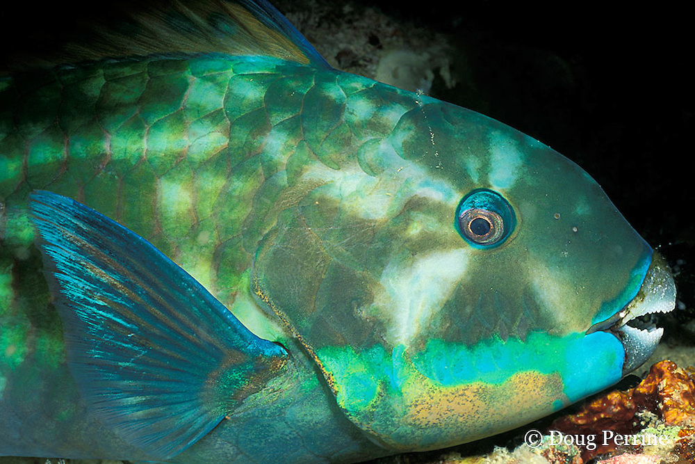 steephead parrotfish, Scarus microrhinos, asleep at night, Restorf Island, Kimbe Bay, Papua New Guinea ( Bismarck Sea )