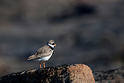 Charadrius hiaticula, Ringer Plover, on a rock near Humboldt Glacier, Kane Basin, West Greenland