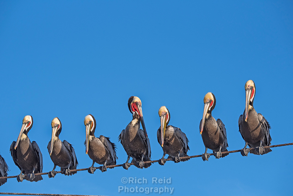 Brown Pelican perched on a wire in San Carlos, Baja California, Mexico.