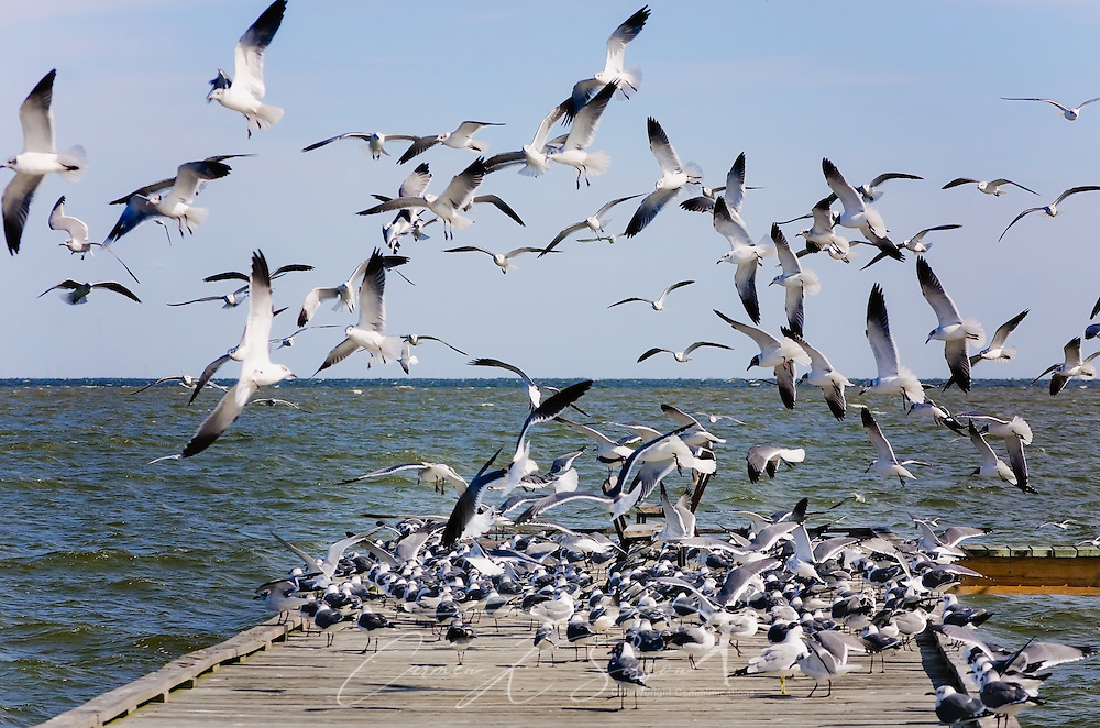 Seagulls gather on a wharf to shelter from the wind, January 26, 2017, in Dauphin Island, Alabama. (Photo by Carmen K. Sisson/Cloudybright)