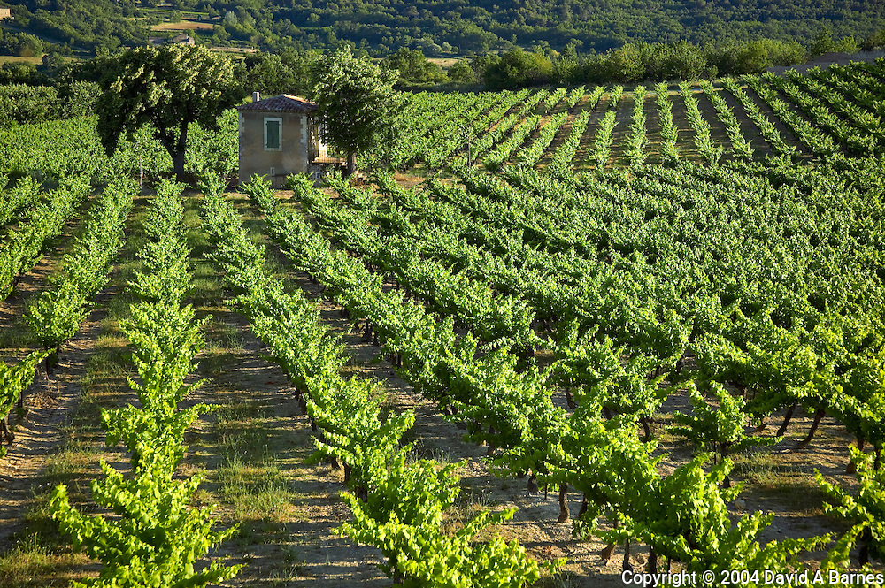 Vineyard, Luberon, Vaucluse, Provence, France
