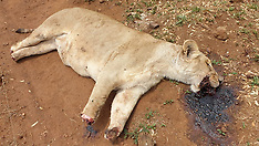 A THIRD lion pride has been brutally butchered in a MONTH - 25 Nov 2019