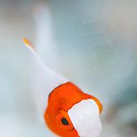 Juvenile Bicolor Parrotfish, Cetoscarus bicolor, Kaluan, Sabah, Borneo, East Malaysia, South East Asia