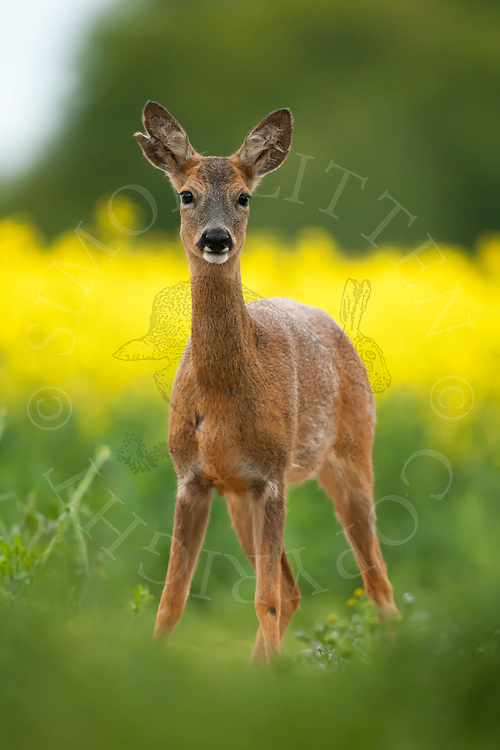 Western Roe Deer (Capreolus capreolus) adult female in set-aside area next to oil seed rape crop, Norfolk, UK.