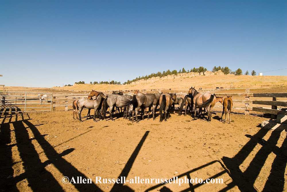 Herd of Quarter Horse mares and foals in ranch corral