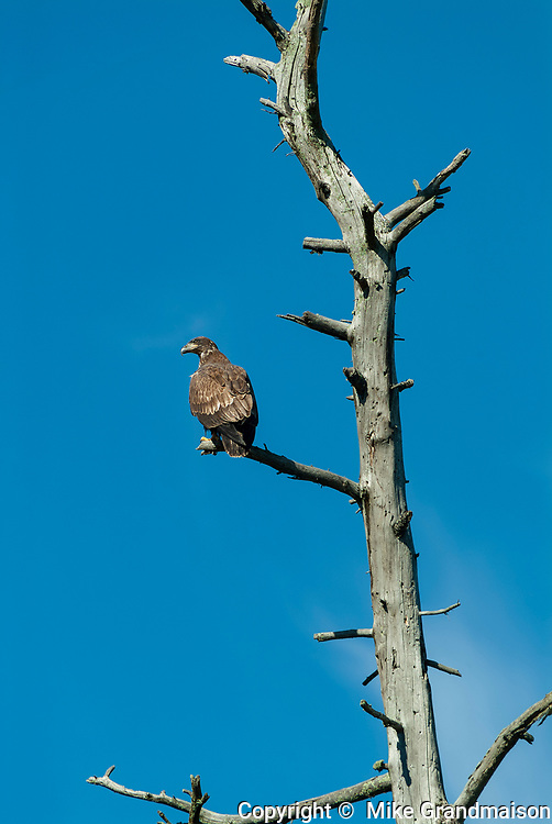 Bald Eagle (Haliaeetus leucocephalus) in dead tree on shore of Lake of  the Woods<br />