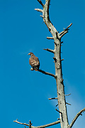 Bald Eagle (Haliaeetus leucocephalus) in dead tree on shore of Lake of  the Woods<br />Lake of  the Woods<br />Ontario<br />Canada