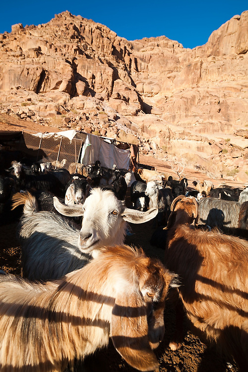 A herd of goats at a Bedouin encampment in Wadi Rum, Jordan.