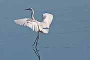 Eastern Great Egret, (kotuku), Invercargill Estuary, New Zealand