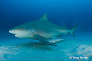 bull shark, Carcharhinus leucas, female in seasonal breeding aggregation, with sharksuckers or remoras, Echeneis naucrates, Playa del Carmen, Cancun, Quintana Roo, Yucatan Peninsula, Mexico ( Caribbean Sea )