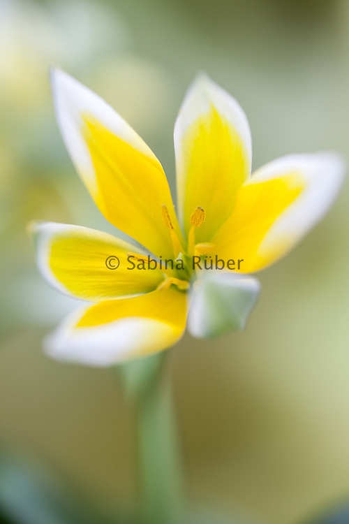 Tulipa tarda - species tulip - late tulip