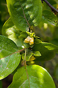Israel,  persimmon blossoms April 2007