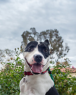 Portrait of smiling pit bull mix outside with clouds behind.