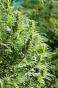 Buds of medicinal marijuana plant cut for harvesting.