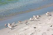 Flock of Sanderlings, Calidris alba, wading shorebirds, on the beach shoreline at Captiva Island, Florida USA