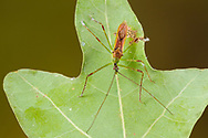 Assassin Bug (Zelus luridus)<br /> United States: Alabama: Tuscaloosa Co.<br /> Tulip Tree Springs off Echola Rd.; Elrod<br /> 7-Sep-2016<br /> J.C. Abbott #2865