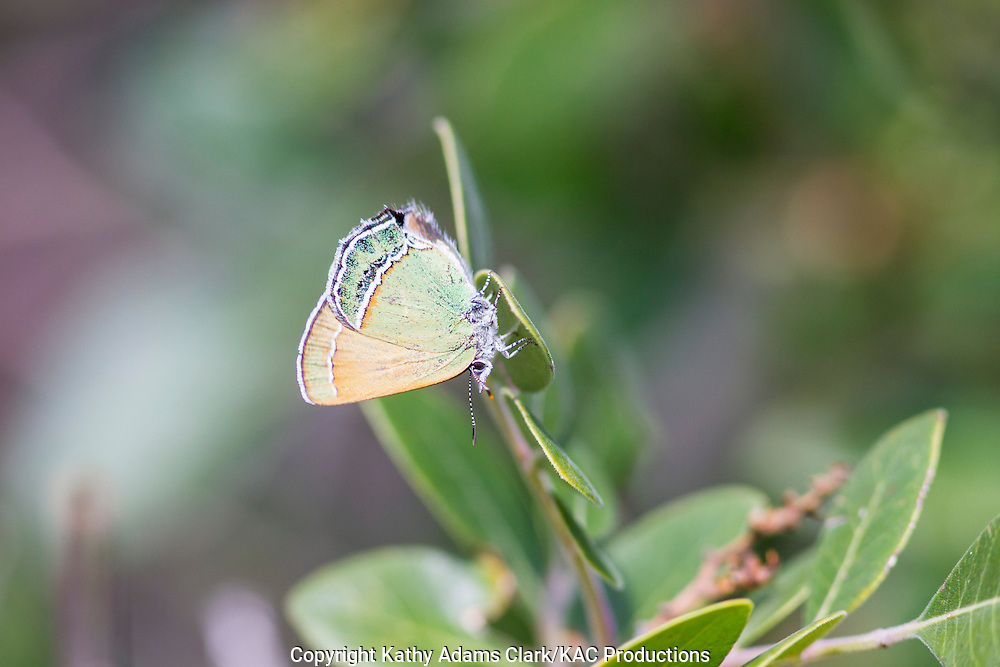 Sandia Hairstreak butterfly; Callophrys mcfarlandi; at Big Bend National Park; Chihuahuan Desert; Texas in summer.