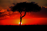 African sun set. Lone tree silhouetted in front of a amazing red sunset Photographed in Tanzania