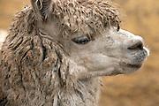 Llamas  Sacsayhuaman, Peru