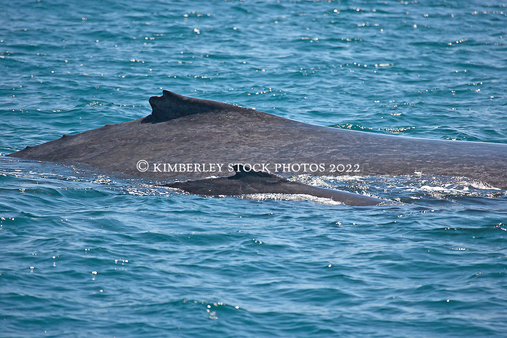 A Humpback whale (Megaptera novaeangliae) cow and calf off Lombadina on the Kimberley coast.