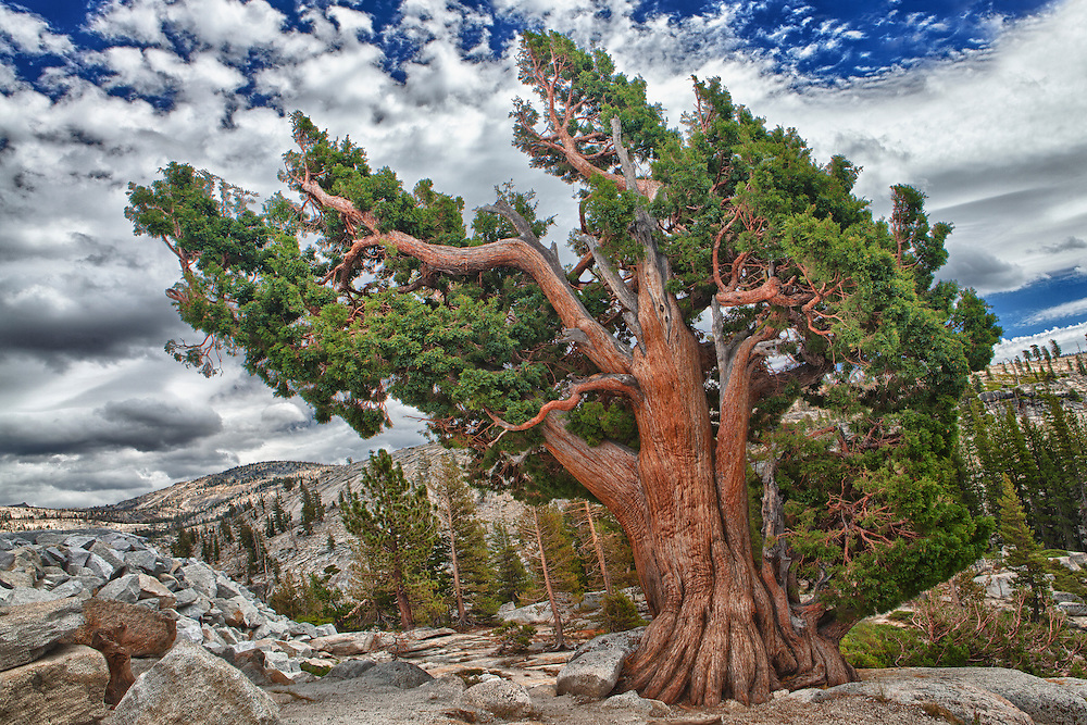 Bristlecone Pine - Big Sky Clouds Olmstead Point - Yosemite - HDR