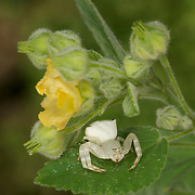 White Flower Crab Spider, Misumena sp. in Thailand.