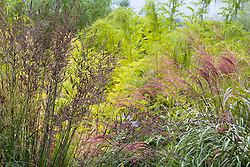 Molinia 'Karl Foerster' with Miscanthus sinensis 'Rotsilber' backed by Datisca cannabina