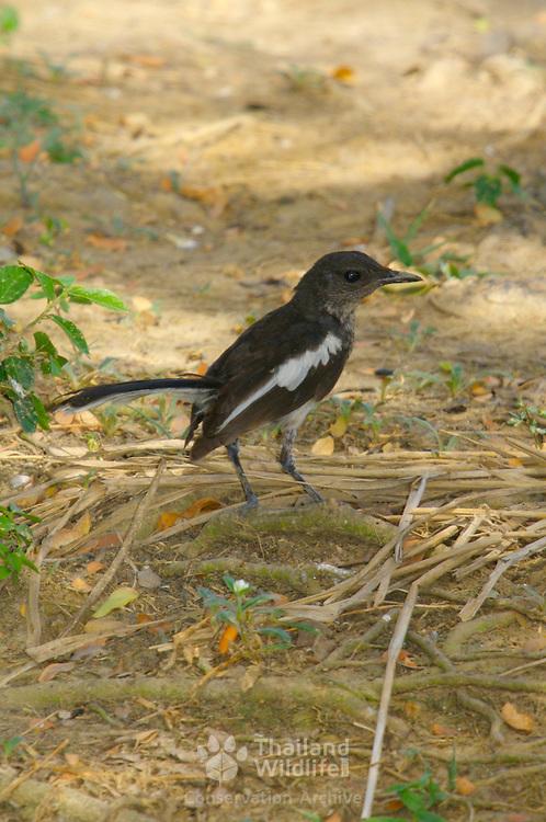 Juvenile or immature Oriental Magpie Robin, Copsychus saularis erimelas