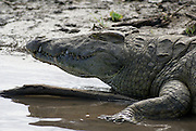 Tanzania wildlife safari Nile Crocodile (Crocodylus niloticus)