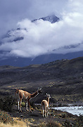 Guanacos beneath Paine Grande, Torres del Paine National Park, Patagonia