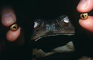 DEU, Deutschland: Anfertigung eines Froschpräparates im Staatlichen Museum für Naturkunde, Stuttgart, Präparator hält zwei Glasaugen zwischen den Fingern, die dem Froschpräparat eingesetzt werden sollen, Stuttgart, Baden-Württemberg | DEU, Germany: Making of a frog preparation, preparator holding two walleyes between fingers, Natural History Museum, Stuttgart, Baden-Wuerttemberg |