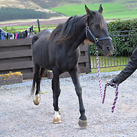 A collect photo of 'Spirit' when she arrived at Janine Mason's farm near Coupar Angus in Perthshire, 'Spirit' is one of the horses she has rescued from a horse rescue charity in Portugal...19.03.15  'Spirit' was a;ready in foul whne she arrived<br /> Picture by Graeme Hart.<br /> Copyright Perthshire Picture Agency<br /> Tel: 01738 623350  Mobile: 07990 594431